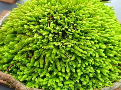 雨似合う古典植物と山野草展_f0203094_10271498.jpg