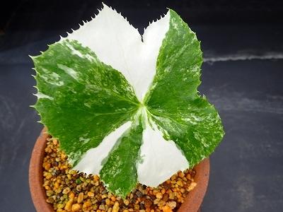 雨似合う古典植物と山野草展_f0203094_10395192.jpg