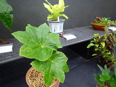 雨似合う古典植物と山野草展_f0203094_10401703.jpg