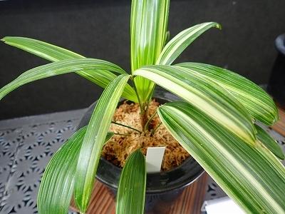 雨似合う古典植物と山野草展_f0203094_10454396.jpg