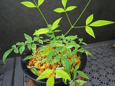 雨似合う古典植物と山野草展_f0203094_10455895.jpg