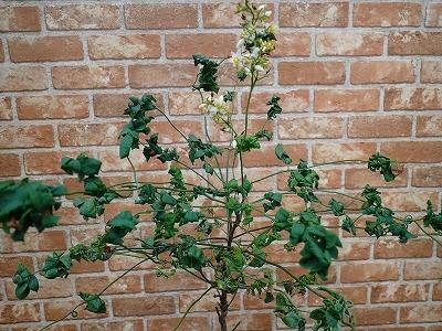 雨似合う古典植物と山野草展_f0203094_10470969.jpg