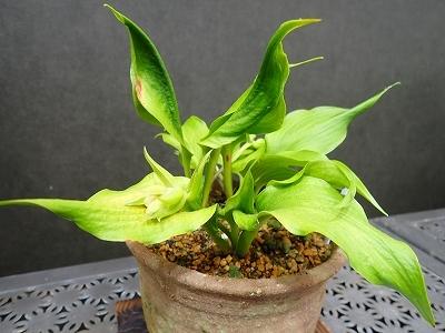 雨似合う古典植物と山野草展_f0203094_10573508.jpg