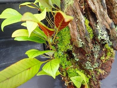雨似合う古典植物と山野草展_f0203094_10593378.jpg