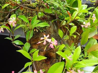 雨似合う古典植物と山野草展_f0203094_11013950.jpg