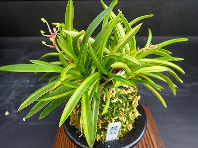 雨似合う古典植物と山野草展_f0203094_11091821.jpg