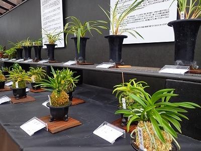雨似合う古典植物と山野草展_f0203094_11104580.jpg