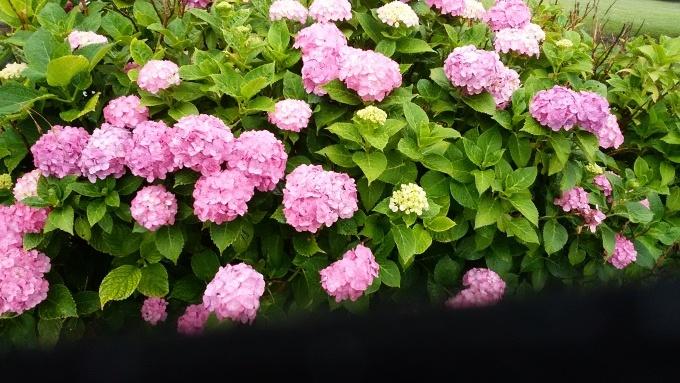 6月20日(日)小雨。朝7時前、手賀沼湖畔散策。雨なので柏ふるさと公園内を歩く。通路に咲く紫陽花が雨に濡れて花が重たそうに傾いていた。赤い花も、青い花も、紫陽花は雨が似合う!>_d0049909_07485721.jpg
