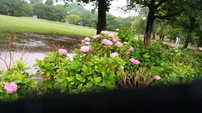 6月20日(日)小雨。朝7時前、手賀沼湖畔散策。雨なので柏ふるさと公園内を歩く。通路に咲く紫陽花が雨に濡れて花が重たそうに傾いていた。赤い花も、青い花も、紫陽花は雨が似合う!>_d0049909_07491577.jpg