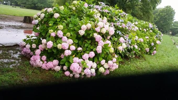 6月20日(日)小雨。朝7時前、手賀沼湖畔散策。雨なので柏ふるさと公園内を歩く。通路に咲く紫陽花が雨に濡れて花が重たそうに傾いていた。赤い花も、青い花も、紫陽花は雨が似合う!>_d0049909_07493482.jpg