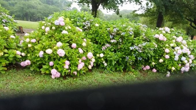 6月20日(日)小雨。朝7時前、手賀沼湖畔散策。雨なので柏ふるさと公園内を歩く。通路に咲く紫陽花が雨に濡れて花が重たそうに傾いていた。赤い花も、青い花も、紫陽花は雨が似合う!>_d0049909_07495196.jpg