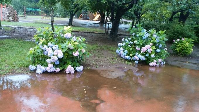 6月20日(日)小雨。朝7時前、手賀沼湖畔散策。雨なので柏ふるさと公園内を歩く。通路に咲く紫陽花が雨に濡れて花が重たそうに傾いていた。赤い花も、青い花も、紫陽花は雨が似合う!>_d0049909_07500880.jpg