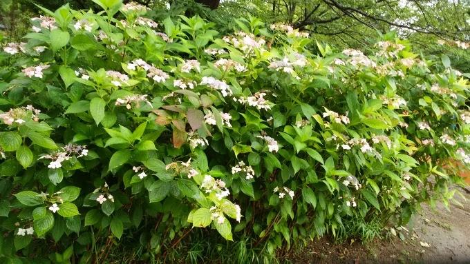 6月20日(日)小雨。朝7時前、手賀沼湖畔散策。雨なので柏ふるさと公園内を歩く。通路に咲く紫陽花が雨に濡れて花が重たそうに傾いていた。赤い花も、青い花も、紫陽花は雨が似合う!>_d0049909_07502485.jpg