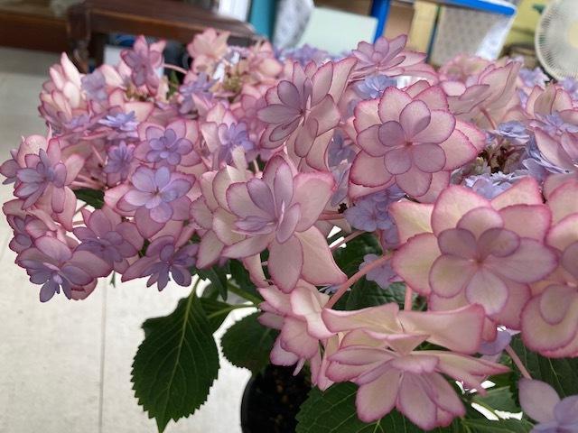 鎌倉の紫陽花で染めましたシリーズ 新作 ショートパンツ♪_d0108933_23283741.jpg