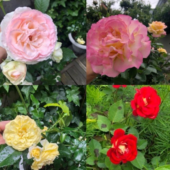 バラの季節_d0010742_22281757.jpeg
