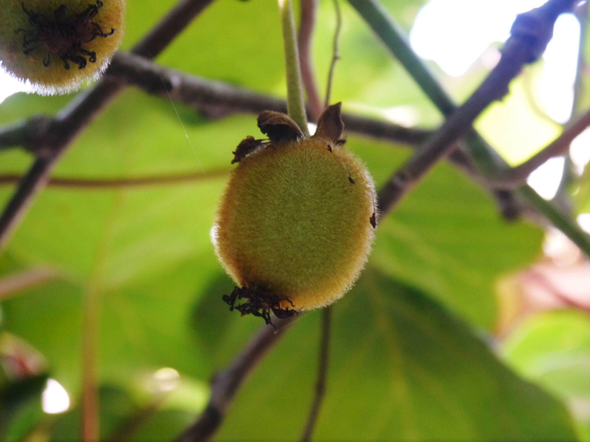 水源キウイ 令和3年の収穫は例年より少し早く11月上旬からの予定!今年も完全無農薬・無化学肥料栽培です_a0254656_18270046.jpg