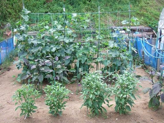 朝採れの夏野菜_f0062159_22152773.jpg