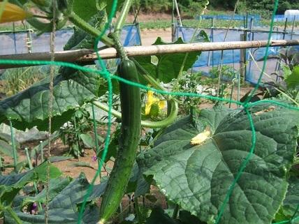 朝採れの夏野菜_f0062159_22161237.jpg