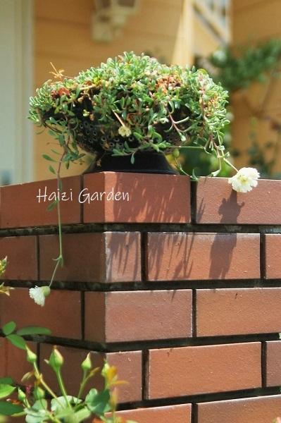 HG的中国語講座(ハードゲイちゃいます) - ハイジの玄関先ガーデン エピソード2♪
