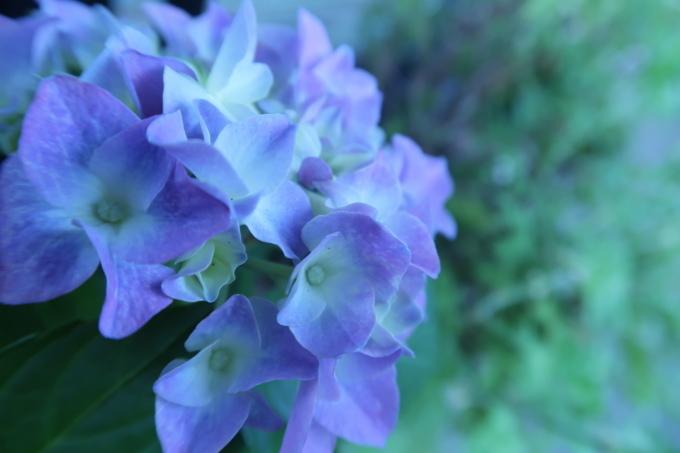 紫陽花のとき_b0324291_00173702.jpg
