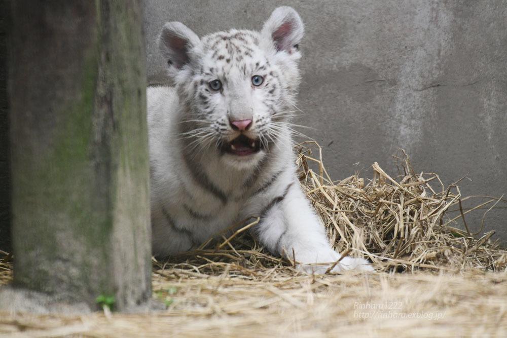 2021.6.13 宇都宮動物園☆ホワイトタイガーのシラナミ姫と赤ちゃん【White tiger】<その1> - 青空に浮かぶ月を眺めながら