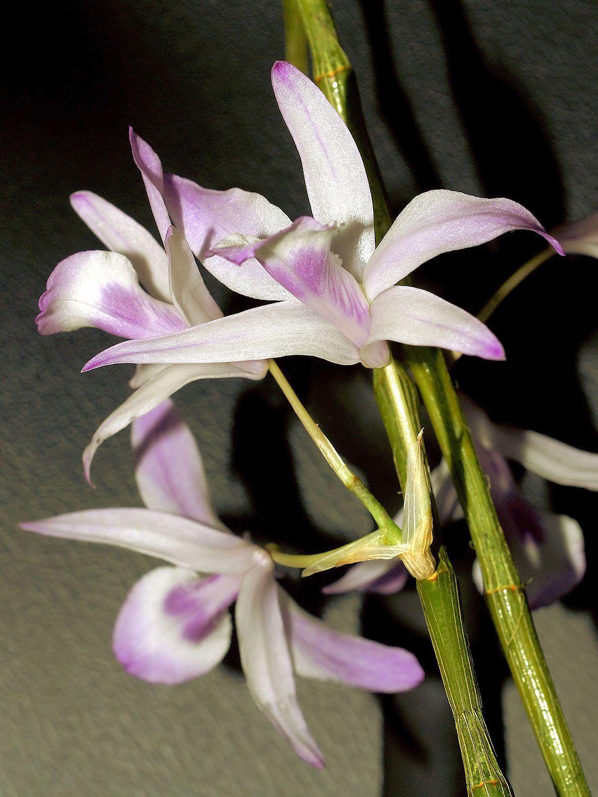 チェンマイの街や野を彩る花々とそのエピソード(第9回)_d0159325_16092496.jpg