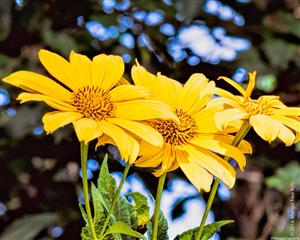 チェンマイの街や野を彩る花々とそのエピソード(第9回)_d0159325_17204482.png
