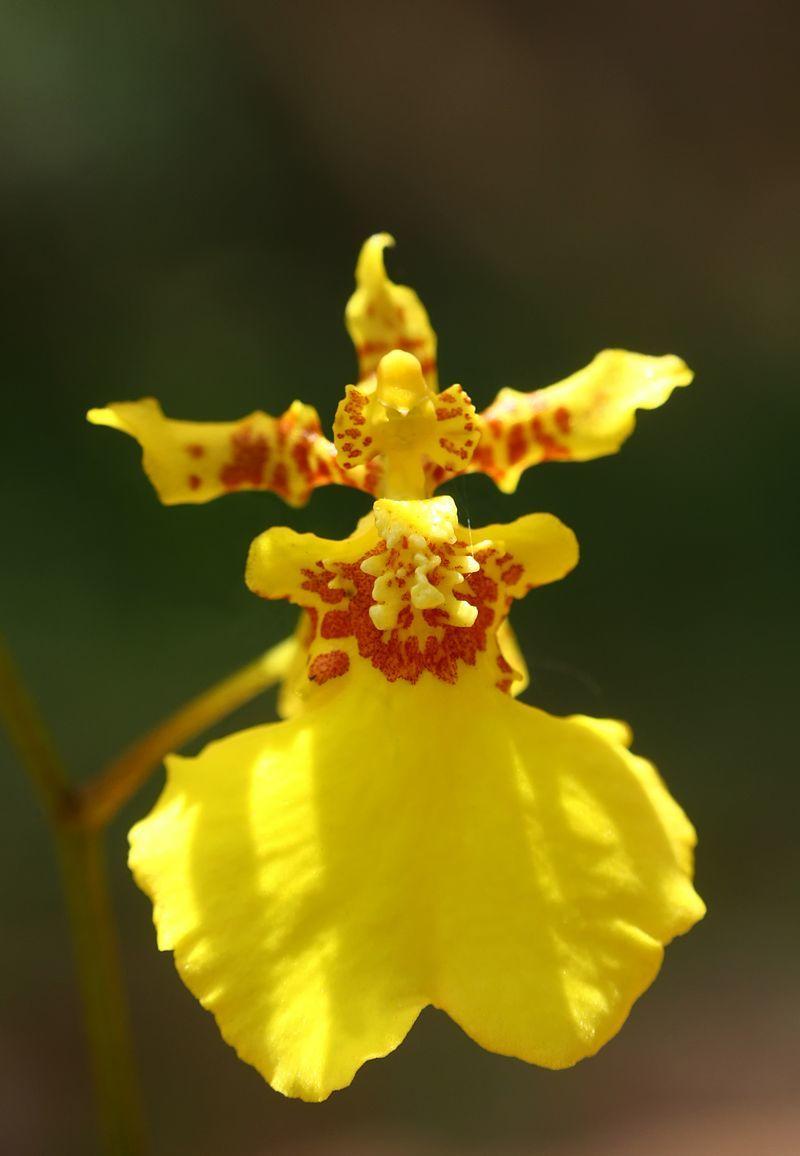 チェンマイの街や野を彩る花々とそのエピソード(第9回)_d0159325_17384551.jpg
