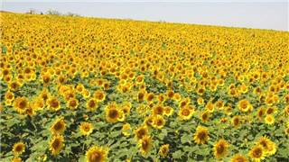 チェンマイの街や野を彩る花々とそのエピソード(第9回)_d0159325_17395786.png