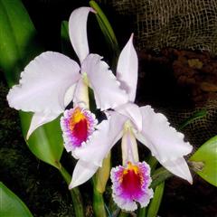チェンマイの街や野を彩る花々とそのエピソード(第9回)_d0159325_17501080.png