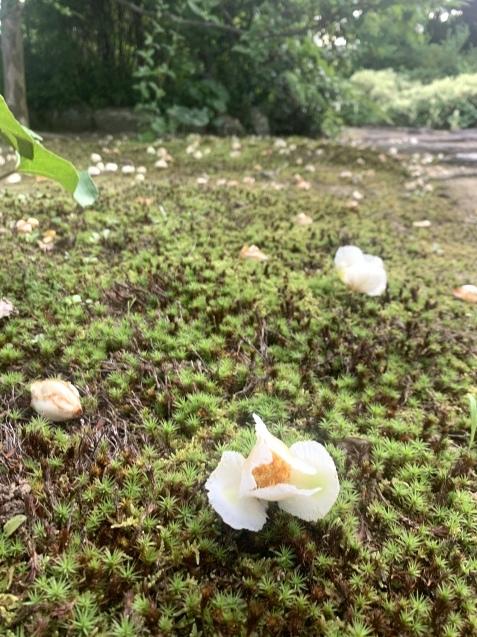 20210621 夏至の日沙羅双樹のお花とキャンドルナイト_d0145345_20395942.jpeg