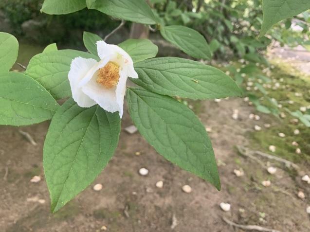 20210621 夏至の日沙羅双樹のお花とキャンドルナイト_d0145345_11504325.jpeg
