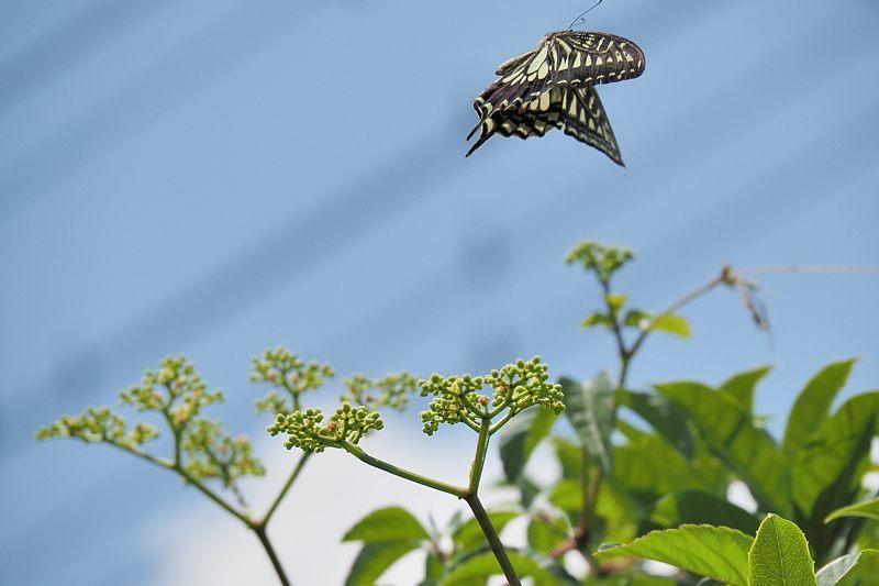 小畔川便り(アゲハの吸蜜と飛翔:2021/6/15)_f0031682_10053731.jpg