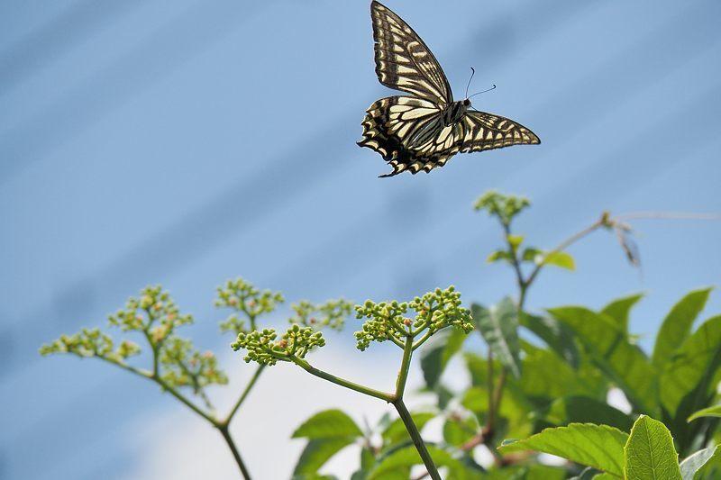 小畔川便り(アゲハの吸蜜と飛翔:2021/6/15)_f0031682_10054684.jpg