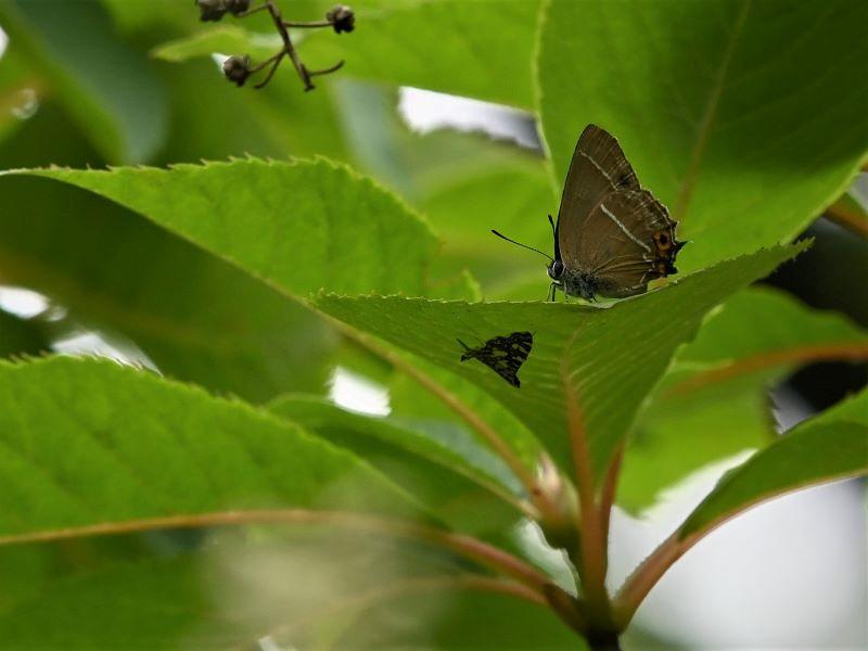 リョウブの花の蝶たち_f0310988_08475145.jpg