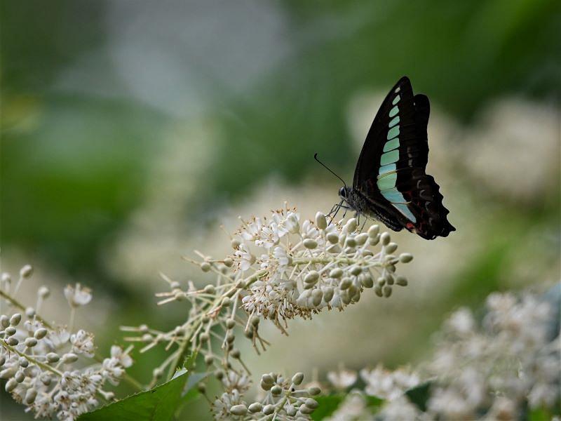 リョウブの花の蝶たち_f0310988_08480698.jpg