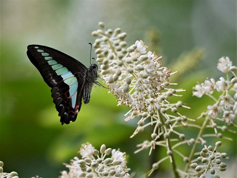 リョウブの花の蝶たち_f0310988_08481210.jpg