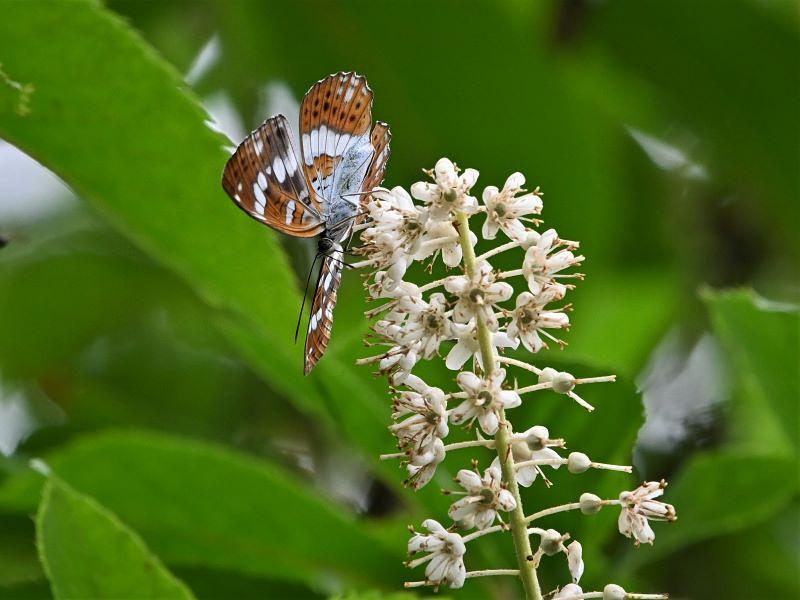 リョウブの花の蝶たち_f0310988_09060644.jpg