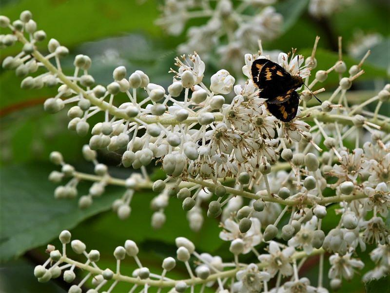 リョウブの花の蝶たち_f0310988_09061235.jpg
