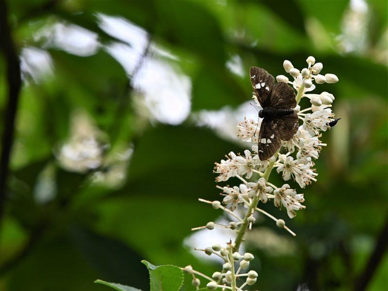 リョウブの花の蝶たち_f0310988_09061900.jpg