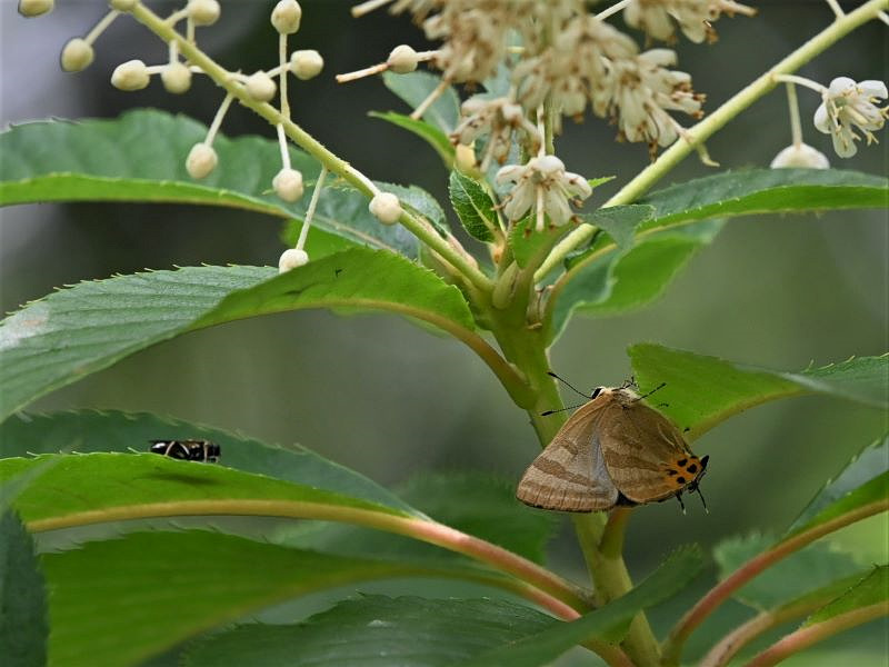 リョウブの花の蝶たち_f0310988_09062870.jpg