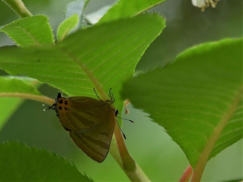 リョウブの花の蝶たち_f0310988_09165407.jpg