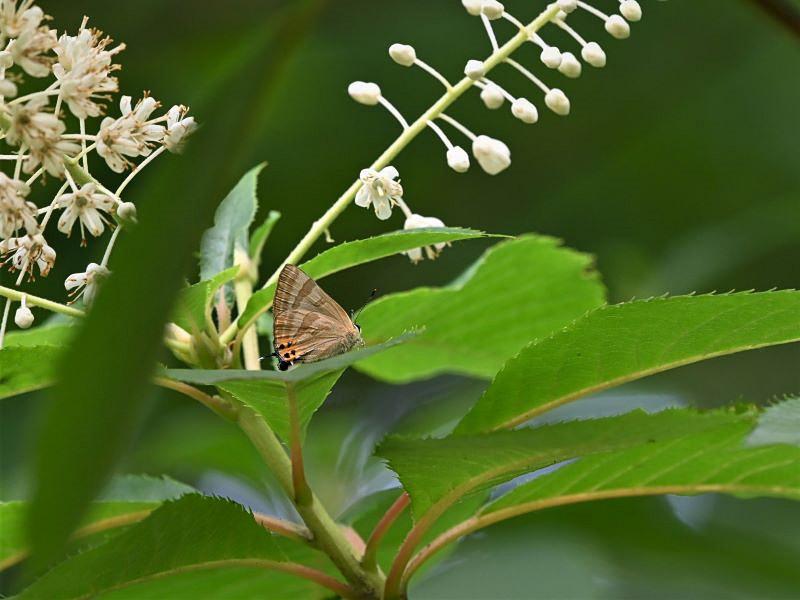 リョウブの花の蝶たち_f0310988_09170216.jpg