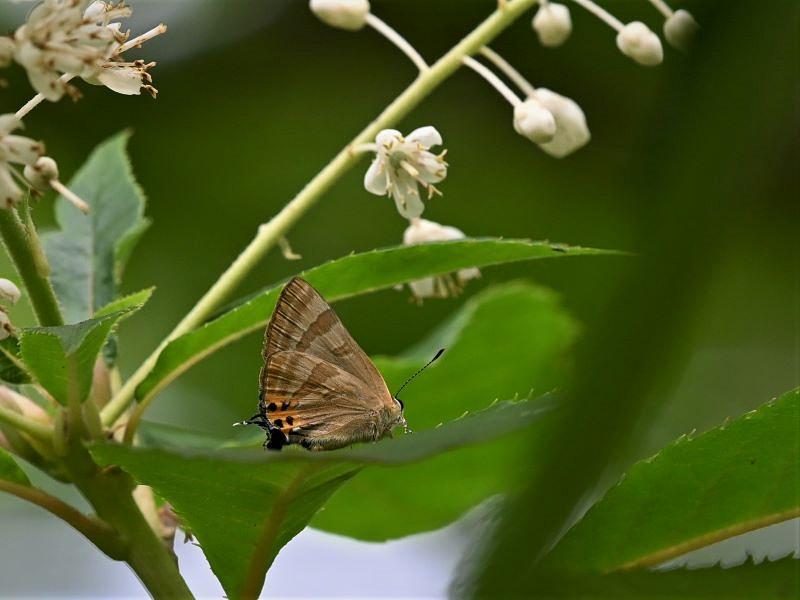 リョウブの花の蝶たち_f0310988_09170924.jpg