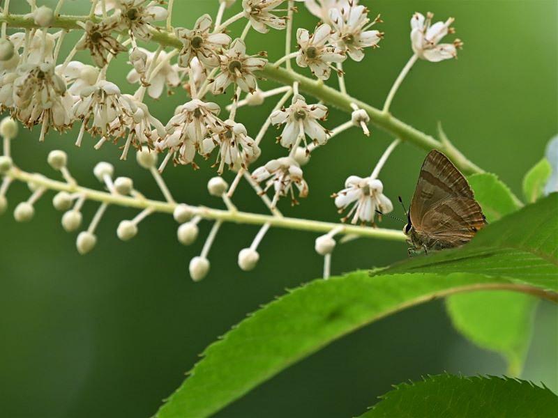リョウブの花の蝶たち_f0310988_09171930.jpg