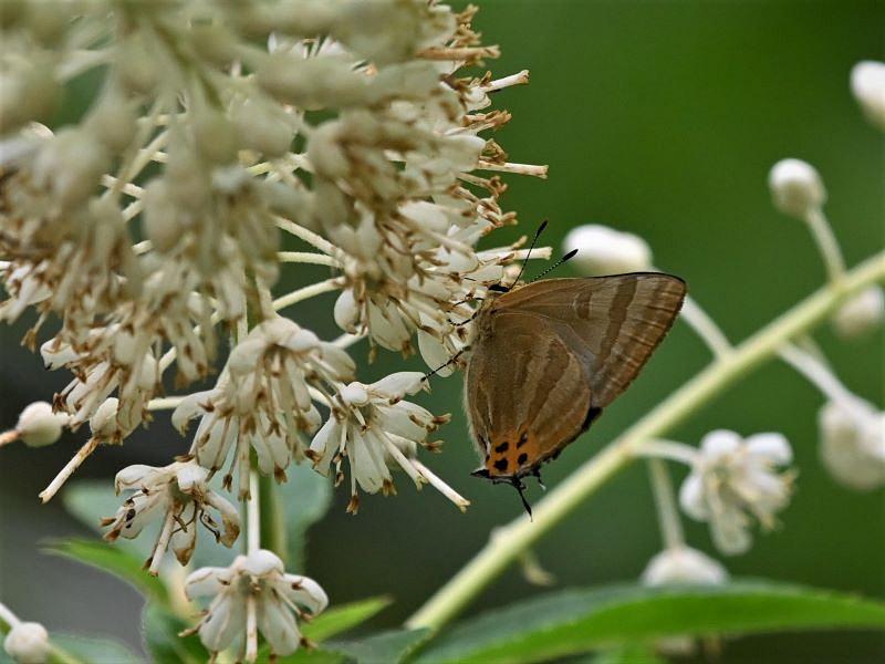 リョウブの花の蝶たち_f0310988_09265218.jpg