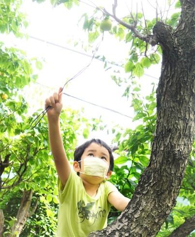 実家の庭の梅の実採り_f0006713_10104302.jpg