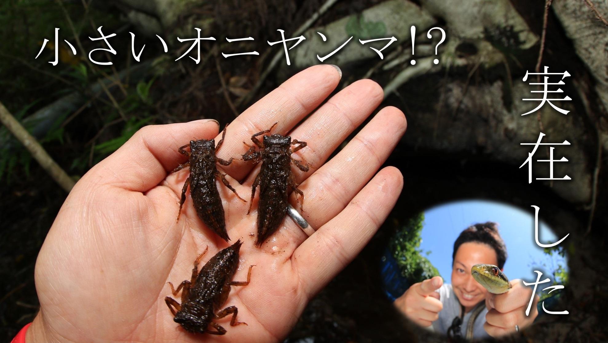 こんな小さなオニヤンマがいる?~伊豆諸島のオニヤンマ~_a0386621_12025150.jpg