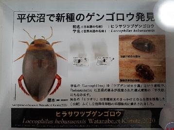 平伏沼(へぶすぬま)で新種のゲンゴロウ発見_d0003224_10392487.jpg