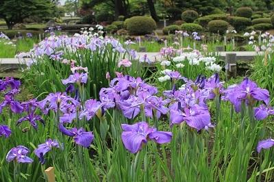 藤田記念庭園のハナショウブ_2021.06.24撮影_d0131668_17551574.jpg